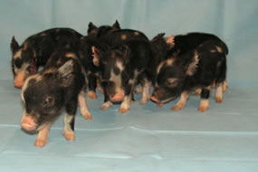Minnesota Miniature Pigs